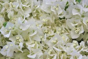 bouquet de petites fleurs blanches de bouganvilliers photo
