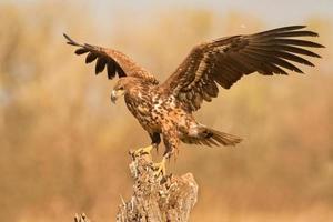 Aigle à queue blanche déployant des ailes photo