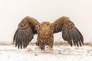 Pygargue à queue blanche déployant des ailes dans la neige photo