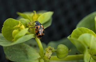 Insecte coccinelle sur une plante verte photo