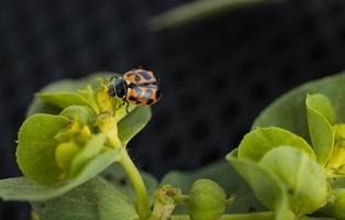 Insecte coccinelle sur plante verte photo