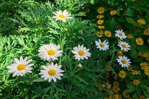 marguerites blanches dans le jardin