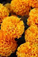 Macro close up de fleurs de souci orange et jaune en fleur au printemps photo