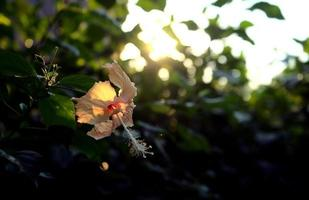 fleur d'hibiscus au coucher du soleil avec des pétales jaune pastel beige clair photo