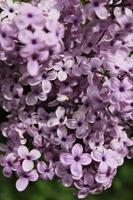 Macro gros plan de fleurs lilas en fleur photo