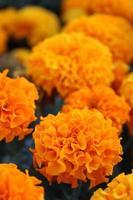 Macro close up de fleurs de souci orange et jaune en fleur au printemps