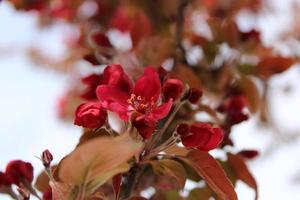 Macro close up de fleurs rouges en fleur sur un pommetier photo