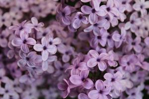 Macro gros plan de fleurs lilas en fleur
