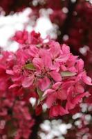 Macro close up de fleurs rouges en fleur sur un pommetier