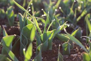Macro close up de pousses de plantes vertes et de semis dans le sol
