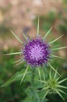 Macro gros plan d'un chardon étoile violet dans son environnement naturel