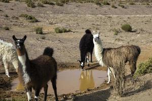 Lamas dans le désert de Dali en Bolivie photo