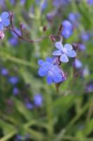 Macro close up d'un alcanet bleu italien en fleur au printemps