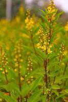 champ de fleurs jaunes en été photo