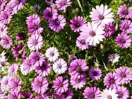 fleurs violettes et blanches et arbustes dans un jardin photo