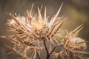 fleurs sèches de chardon laineux