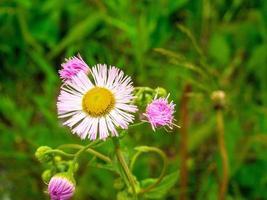 Fleur de marguerite commune dans un champ photo