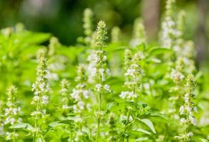 champ de basilic avec des fleurs pendant la journée photo