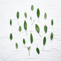 groupe de feuilles de sauge photo