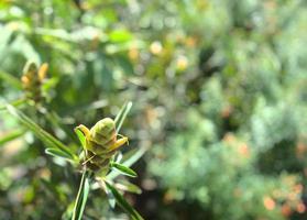 plante herbacée naturelle botanique verte avec bokeh léger photo