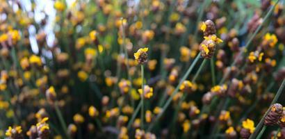 Prairie de fleurs sauvages jaunes avec fond de texture abstraite bokeh photo