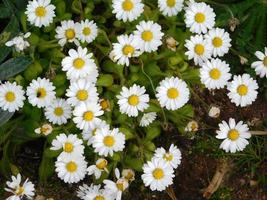 fleurs jaunes et arbustes dans un jardin photo