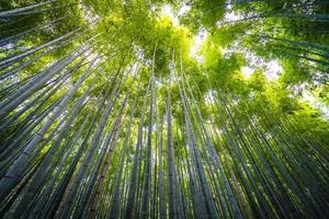 Bambouseraie dans la forêt à Arashiyama à Kyoto, Japon photo
