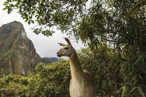 Lama au machu picchu au pérou photo