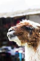 Lama dans la rue de Cusco, Pérou photo