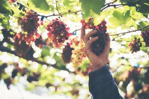 Jeune femme récolte des raisins dans le vignoble pendant la saison des récoltes