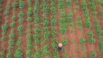 Vue aérienne de dessus des agriculteurs travaillant sur la ferme de manioc photo