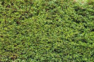 toile de fond de mur de feuilles vertes photo