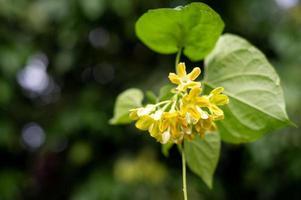 fleurs de vigne vierge