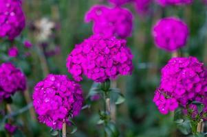 fleurs violettes brillantes sur le terrain photo