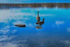 beaux canards canadiens