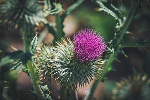 fleur pourpre d'une plante de chardon commun photo