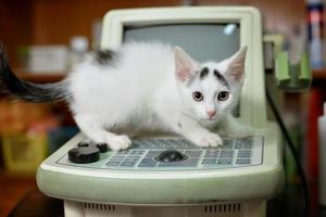 Chaton blanc avec un stéthoscope dans un cabinet vétérinaire