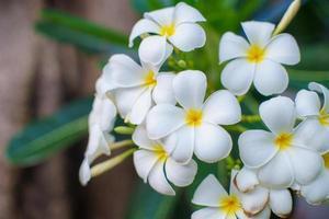 fleurs de frangipanier blanc photo