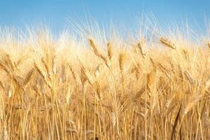 toile de fond de blé jaune photo