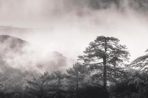 brouillard brouillard s'élevant à travers les pins