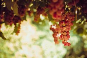 Grappes de raisin rouge suspendu à la vigne dans la lumière du soleil