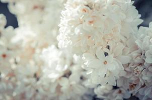 fleur de lilas blanc, mise au point sélective