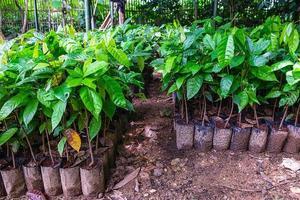 Rangées de plants de cacao en pot dans un jardin photo