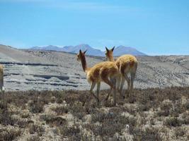 Paire d'animaux vigognes au sommet des Andes au Pérou photo