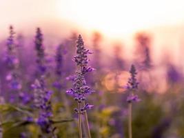 champ de lavande au coucher du soleil photo