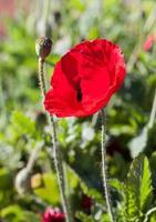 fleur de pavot rouge photo