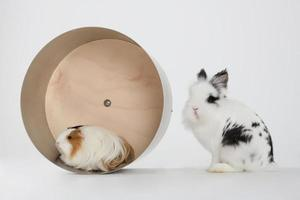 Petit lapin nain avec cochon d'Inde isolé sur blanc