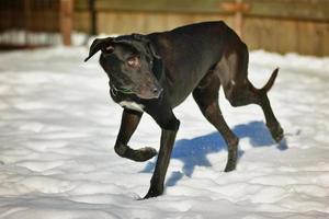 noir, heureux, chien, courant, dans, les, neige photo