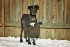 gros chien noir dans la neige