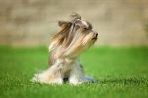 Yorkshire terrier cheveux longs runnin on green meadow in park
